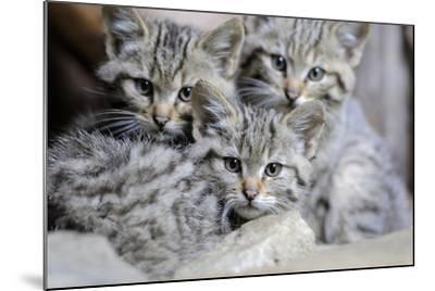 Wildcat, Felis Silvestris, Young Animals-Ronald Wittek-Mounted Photographic Print
