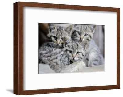 Wildcat, Felis Silvestris, Young Animals-Ronald Wittek-Framed Photographic Print