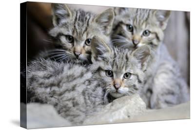 Wildcat, Felis Silvestris, Young Animals-Ronald Wittek-Stretched Canvas Print