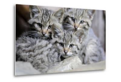 Wildcat, Felis Silvestris, Young Animals-Ronald Wittek-Metal Print