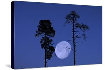 Moon, Trees, Jaws, Silhouette, at Night-Herbert Kehrer-Stretched Canvas Print