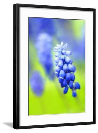 Grape-Hyacinth, Muscari Racemosum, Detail, Blooms, Plant-Herbert Kehrer-Framed Photographic Print