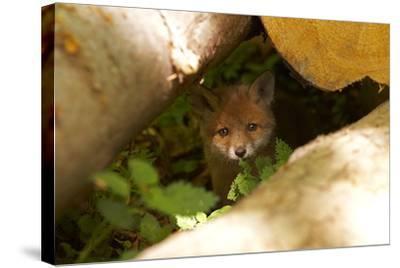 Fox, Vulpes Vulpes, Young, Watching, Camera, Tree-Trunks, Detail, Blurred, Nature, Fauna-Chris Seba-Stretched Canvas Print