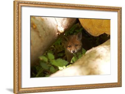 Fox, Vulpes Vulpes, Young, Watching, Camera, Tree-Trunks, Detail, Blurred, Nature, Fauna-Chris Seba-Framed Photographic Print