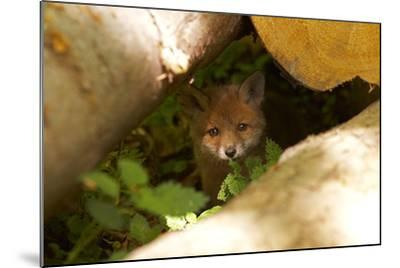 Fox, Vulpes Vulpes, Young, Watching, Camera, Tree-Trunks, Detail, Blurred, Nature, Fauna-Chris Seba-Mounted Photographic Print