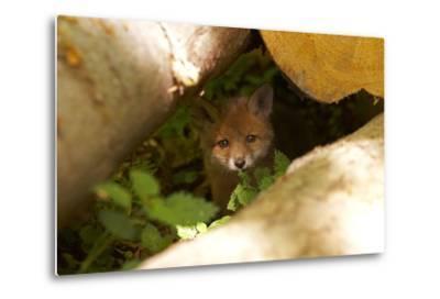 Fox, Vulpes Vulpes, Young, Watching, Camera, Tree-Trunks, Detail, Blurred, Nature, Fauna-Chris Seba-Metal Print