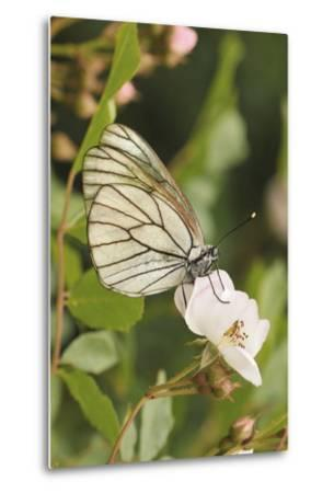 Butterfly, Black-Veined White on Wild Rose-Harald Kroiss-Metal Print