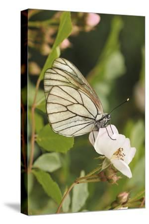 Butterfly, Black-Veined White on Wild Rose-Harald Kroiss-Stretched Canvas Print