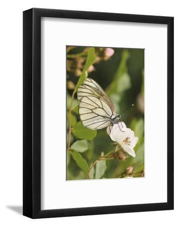 Butterfly, Black-Veined White on Wild Rose-Harald Kroiss-Framed Photographic Print