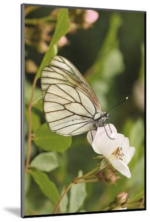 Butterfly, Black-Veined White on Wild Rose-Harald Kroiss-Mounted Photographic Print