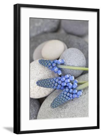 Muscari, Grape Hyacinth, Flowers, Stones, Close-Up-Andrea Haase-Framed Photographic Print
