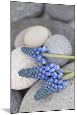 Muscari, Grape Hyacinth, Flowers, Stones, Close-Up-Andrea Haase-Mounted Photographic Print