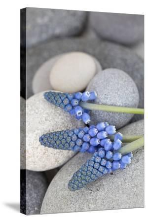 Muscari, Grape Hyacinth, Flowers, Stones, Close-Up-Andrea Haase-Stretched Canvas Print