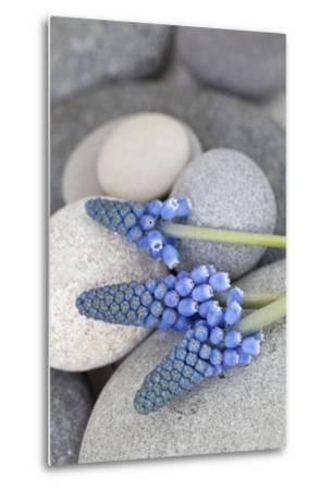 Muscari, Grape Hyacinth, Flowers, Stones, Close-Up-Andrea Haase-Metal Print
