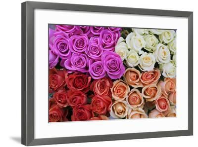 Coloured Rose Blossoms, Roses-Sweet Ink-Framed Photographic Print