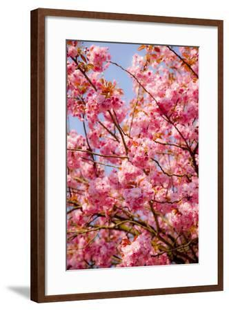 Japanese Ornamental Cherry, Branches, Blossoms, Detail, Outside, Tree, Sky, Blue, Sunny, Spring-Nora Frei-Framed Photographic Print