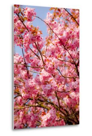 Japanese Ornamental Cherry, Branches, Blossoms, Detail, Outside, Tree, Sky, Blue, Sunny, Spring-Nora Frei-Metal Print