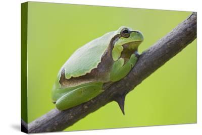 Frog, European Tree Frog, Hyla Arborea-Rainer Mirau-Stretched Canvas Print