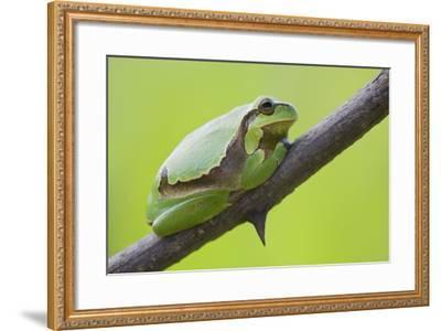 Frog, European Tree Frog, Hyla Arborea-Rainer Mirau-Framed Photographic Print