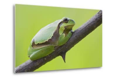 Frog, European Tree Frog, Hyla Arborea-Rainer Mirau-Metal Print