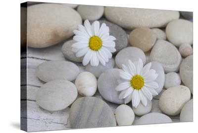 Margarites Blossoms, Stones, Still Life-Andrea Haase-Stretched Canvas Print
