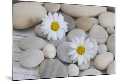 Margarites Blossoms, Stones, Still Life-Andrea Haase-Mounted Photographic Print