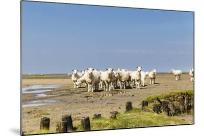 Flock of Sheep at Coast of the Northern Sea- Photo-Active-Mounted Photographic Print