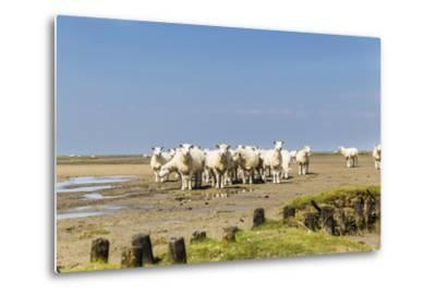 Flock of Sheep at Coast of the Northern Sea- Photo-Active-Metal Print
