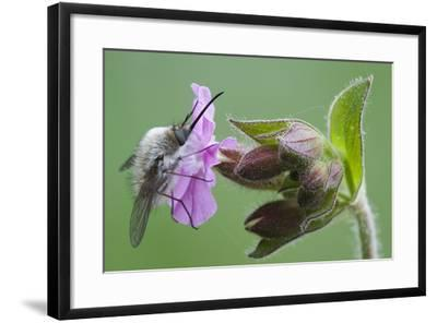 Plant, True Comfrey, Symphytum Officinale, Insect-Rainer Mirau-Framed Photographic Print