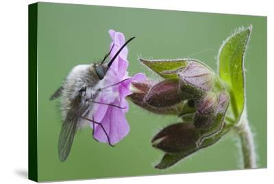 Plant, True Comfrey, Symphytum Officinale, Insect-Rainer Mirau-Stretched Canvas Print
