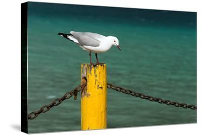 South Africa, Houtbay, Harbour, Gull-Catharina Lux-Stretched Canvas Print