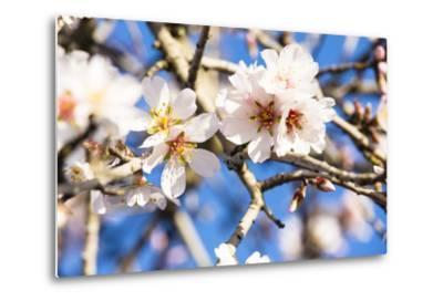Blossoming Almond Blossoms with Blue Sky, Close-Up, Spring, Santa Maria Del Cami, Majorca-P. Kaczynski-Metal Print