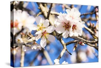 Blossoming Almond Blossoms with Blue Sky, Close-Up, Spring, Santa Maria Del Cami, Majorca-P. Kaczynski-Stretched Canvas Print