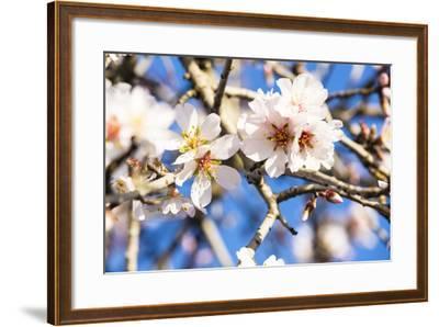 Blossoming Almond Blossoms with Blue Sky, Close-Up, Spring, Santa Maria Del Cami, Majorca-P. Kaczynski-Framed Photographic Print