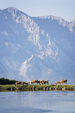 Austria, Styria, Hoher Dachstein, Mountain Lake, Cows, Mountain Scenery-Rainer Mirau-Framed Photographic Print