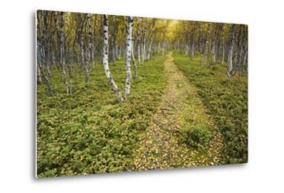 Sweden, Birch-Forest, Tree-Trunks, Forest Path-Rainer Mirau-Metal Print