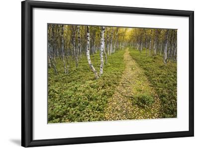 Sweden, Birch-Forest, Tree-Trunks, Forest Path-Rainer Mirau-Framed Photographic Print