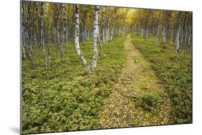 Sweden, Birch-Forest, Tree-Trunks, Forest Path-Rainer Mirau-Mounted Photographic Print