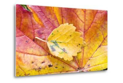 Autumn Leaves, Close-Up-Frank Lukasseck-Metal Print