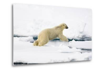 Norway, Spitsbergen, the Atlantic, Floes, Polar Bear, Ursus Maritimus, Jump-Frank Lukasseck-Metal Print