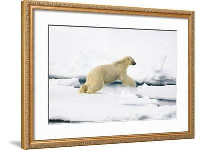 Norway, Spitsbergen, the Atlantic, Floes, Polar Bear, Ursus Maritimus, Jump-Frank Lukasseck-Framed Photographic Print