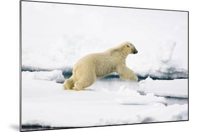 Norway, Spitsbergen, the Atlantic, Floes, Polar Bear, Ursus Maritimus, Jump-Frank Lukasseck-Mounted Photographic Print