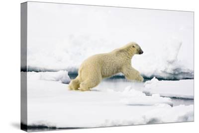 Norway, Spitsbergen, the Atlantic, Floes, Polar Bear, Ursus Maritimus, Jump-Frank Lukasseck-Stretched Canvas Print