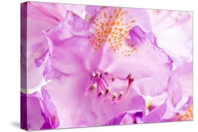 Rhododendron, Blossoms, Close-Up-Frank Lukasseck-Stretched Canvas Print