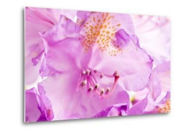 Rhododendron, Blossoms, Close-Up-Frank Lukasseck-Metal Print