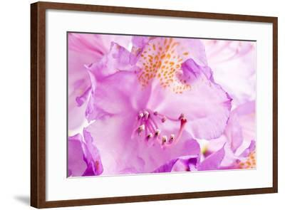 Rhododendron, Blossoms, Close-Up-Frank Lukasseck-Framed Photographic Print