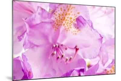 Rhododendron, Blossoms, Close-Up-Frank Lukasseck-Mounted Photographic Print