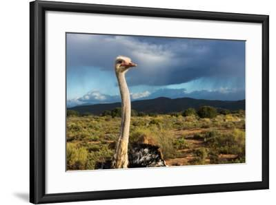 South Africa, Oudtshoorn (Town), Ostrich-Catharina Lux-Framed Photographic Print