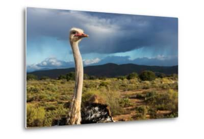 South Africa, Oudtshoorn (Town), Ostrich-Catharina Lux-Metal Print