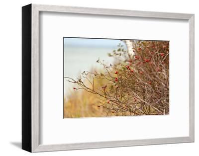 The Baltic Sea, R?gen, Rose Hip Shrub-Catharina Lux-Framed Photographic Print